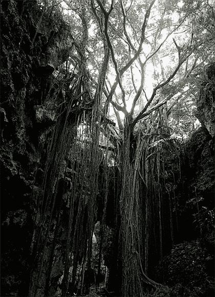 「がじゅまる」の樹の魅力にとりつかれ1000本以上の樹を撮影
